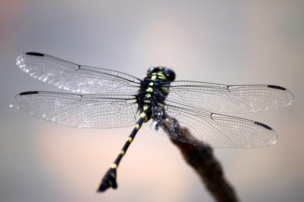 black-and-green-dragonfly-closeup
